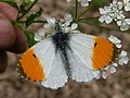 Orange Tip (Anthocharis cardamines) - geograph.org.uk - 1291488.jpg