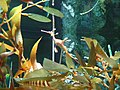 Orange Weedy Sea Dragon.jpg