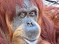 Orangutan in Higashiyama Zoo - 2.jpg