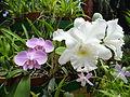 Orchids in the Botanical Garden of Peradeniya 03.JPG