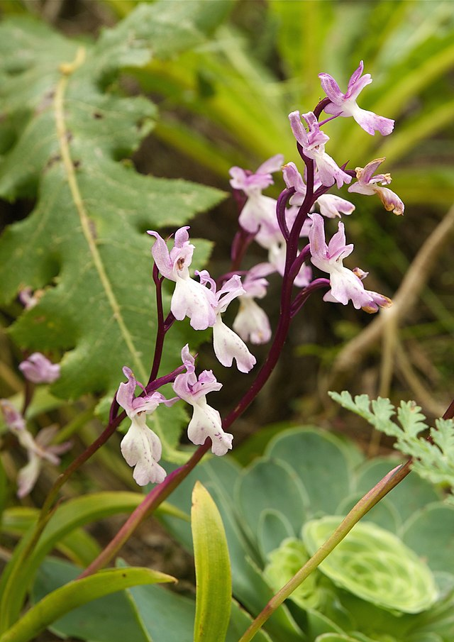 Orchis canariensis LC0215.jpg