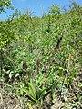 Orchis purpurea sl55.jpg