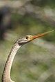 Oriental Darter Anhinga melanogaster by Dr. Raju Kasambe DSCN6918 (16).jpg