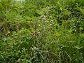 Origanum vulgare (7775714034).jpg