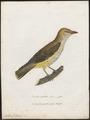 Oriolus galbula - 1800-1812 - Print - Iconographia Zoologica - Special Collections University of Amsterdam - UBA01 IZ16400171.tif