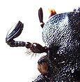 Osmoderma eremita antenna bl.jpg