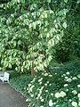 Ostrya virginiana BotGardBln07122011C.JPG