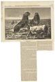 Otaria jubata - 1866 - Print - Iconographia Zoologica - Special Collections University of Amsterdam - UBA01 IZ21100049.tif