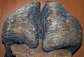Muskox - Fossil Ovibos moschatus skull from prehistoric Siberia