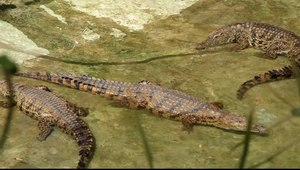 File:Pájara - La Lajita - Oasis Park - Crocodylus niloticus (0) 03 ies.ogv