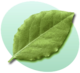 P Leaf Green.png