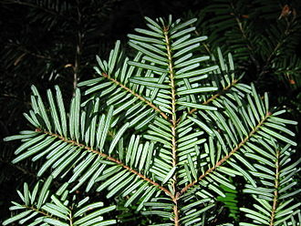 Abies amabilis - Image: Pacific Silver Fir 7644