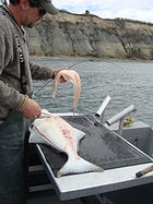 Pacific Halibut Fileting