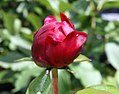 Paeonia lactiflora Buckeye Belle 1zz.jpg