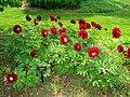 Paeonia lactifolia,Tower Hill Botanic Garden.JPG