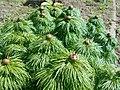 Paeonia tenuifolia 2017-04-20 8145.jpg