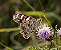 Painted Lady, Vanessa cardui, underwings (32712216868).jpg