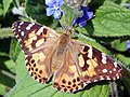 Painted Lady (Vanessa cardui) (21127015050).jpg