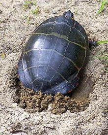 Can Painted Turtles Stay Out Of Water