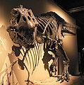 Palais de la Decouverte Tyrannosaurus rex p1050040.jpg