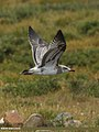 Pallas's Gull (Larus ichthyaetus) (15893552211).jpg
