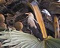 Palm-nut Vulture Gypohierax angolensis CF2P0577 (23792876035).jpg