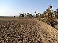 Palm trees in Bafq County.JPG