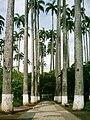 Palmeira imperiais Jardim Velho.JPG