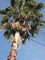 Palmeras en Trenque Lauquen (planta 06) foto 04.JPG