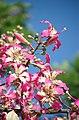 Palo Borracho Flowers (2220197142).jpg