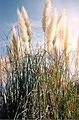 Pampas Grass(Cortaderia sellonana).jpg