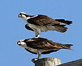 Pandion haliaetus -John Heinz National Wildlife Refuge at Tinicum, Pennsylvania, USA-8.jpg
