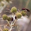 Panicaut-Eryngyum campestre-Fleurs-20140804.jpg