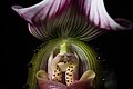 Paphiopedilum callosum (Rchb.f.) Stein, Orchid.-Buch 457 (1892) (41558359054).jpg