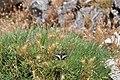 Papilio hospiton 0855.jpg