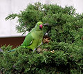 Pappagallo verde su albero.jpg