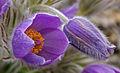 Pasqueflower (2537653811).jpg