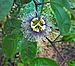 Passion Fruit flower on the vine Apr 20 2013.JPG