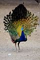 Peacock dance beautiful 3.jpg