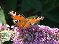 Peacockbutterfly.JPG