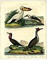 Pelecanus Bird Print 1823 (3239541165).jpg
