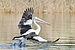 Pelecanus conspicillatus - Austins Ferry pouncing 1.jpg