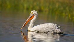Pelican NalSarovar.jpg