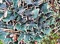 Peltigera malacea (Ach.) Funck 602952.jpg