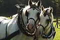 Percherons attelés mondial du cheval percheron 2011Cl J Weber08 (23787786830).jpg