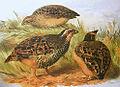 Perdicula asiatica hm.jpg