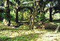 Perkebunan kelapa sawit milik rakyat (41).JPG