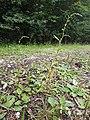 Persicaria hydropiper sl9.jpg