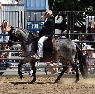 Peruvian Paso Breed of horse