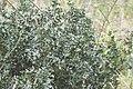 Petit-houx-Ruscus aculeatus-0040.jpg